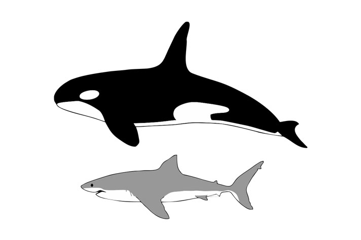 Great White Sharks Leave En Masse When Orcas Are Around